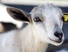 goat live-stream