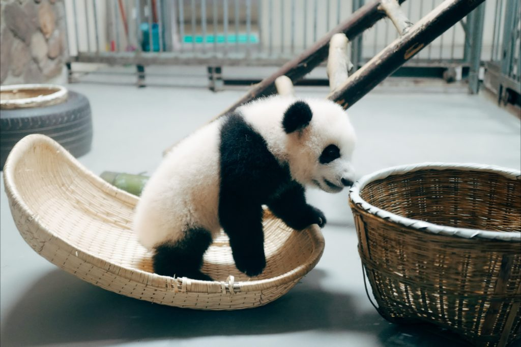 Name The Newest Baby Panda